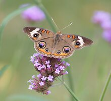 Common Buckeye on Verbena Flower close-up by Robert E. Alter / Reflections of Infinity, LLC