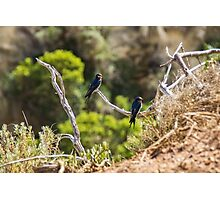 Two welcome swallows perched on a branch Photographic Print