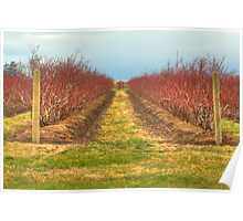 Blueberry Bushes Awaiting Spring Poster