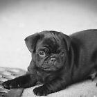 Black Pug Puppy Ready to Play by John Attebury