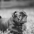 Black Pug Puppy Walking By by John Attebury