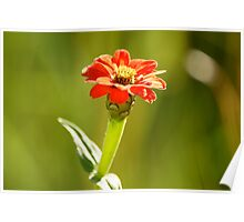 bushveld bloom Poster