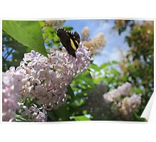 Calm Butterfly Poster