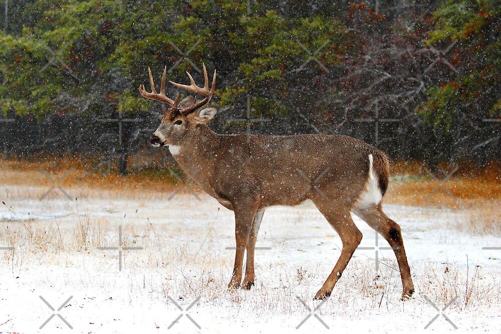 Buck in Snow - White-tailed Deer by Jim Cumming