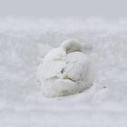 Snow Goose - iPhone by Andrew Bret Wallis