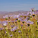 Mojave Asters and Desert Landscape by John Butler