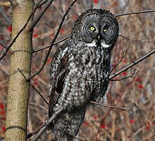 Great Grey Owl by Nancy Barrett