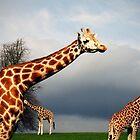 Giraffes in perspective by oonat