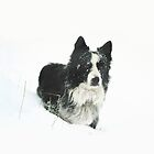 Working Border Collie in Winter - iPhone by Andrew Bret Wallis
