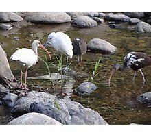 Heron And Ibis - Garza Blanca E Ibis Photographic Print