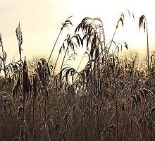 Wetland Reedbed by Anne Kingston