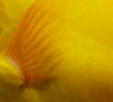 Yellow Tang Sticker