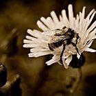 Bumblebee B&W by Jessica Karran