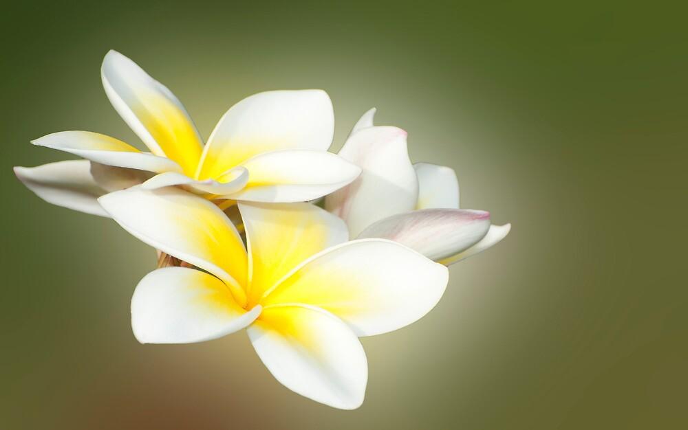 White Lady - frangapani flowers by Jenny Dean
