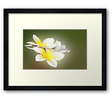 White Lady - frangapani flowers Framed Print