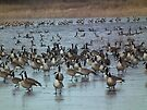Many, Many Geese at Sweet Marsh by Deb Fedeler