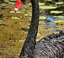 Black Swan by Paul Sparrow