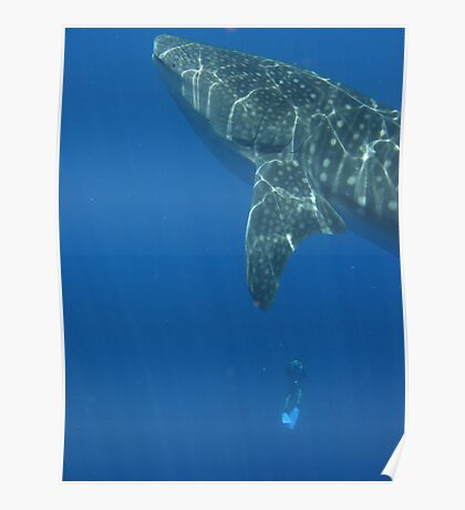 Whale Shark at Xmas Poster