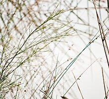 Blue Wren on the Murray by vixstix