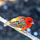 Red Bishop Weaver by Arfan Habib