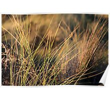 Coastal grasses in morning light Poster