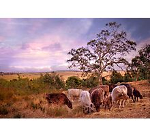 Chow Time - Galloway Cows, Kanmantoo, The Adelaide Hills, SA Photographic Print