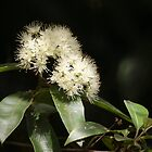Lemon Myrtle in flower by Anne-Marie Ladegaard