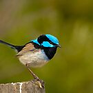 0576 The Superb Fairywren (male) by DavidsArt