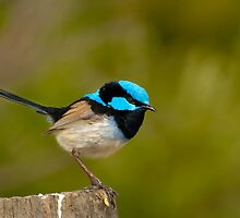 The Superb Fairywren (male) by DavidsArt