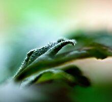 Geranium - close-up by MarekM