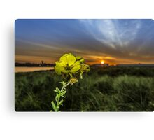 Evening Primrose in the morning sun Canvas Print