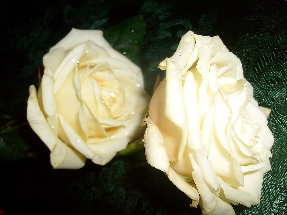 White rose, delicate rose ..... by Ana Belaj