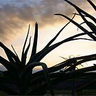 """Aloe barberae"" - tree aloe - South Africa by Sandy Beaton"