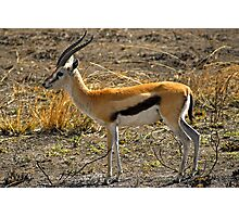 Young Thomson's Gazelle Photographic Print