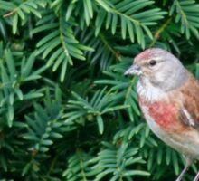 An uncommon Common Linnet Sticker