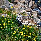 Camo grouse by bamorris