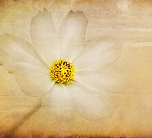 cosmea by lucyliu