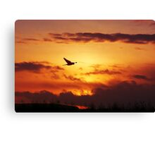 Sunset Stalking Sparrowhawk Canvas Print