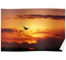 Sunset Stalking Sparrowhawk Poster