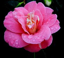 Dew drops on a Rhododendron by Johnathan Bellamy