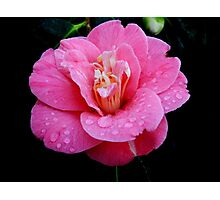 Dew drops on a Rhododendron Photographic Print