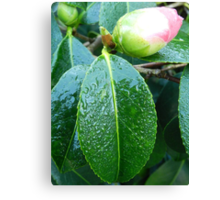 Rhododendron in bud Canvas Print