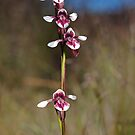 Diuris venosa by Colin12
