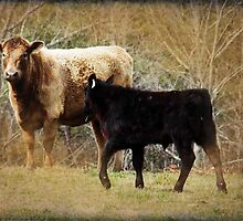 Cattle in Palmyra, VA by Bine