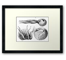 Vintage Natural History Mollusca Illustration Framed Print