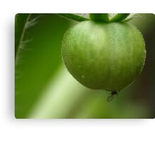 A fly on a tomato Canvas Print