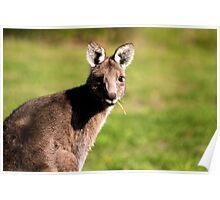 Juvenile Wallaby Poster