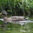 Swimming Duck by Thomas Murphy