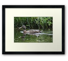 Swimming Duck Framed Print
