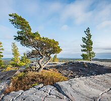 Bending tree is struggling for life on a mountain top, Killarney, Canada by Sergey Orlov